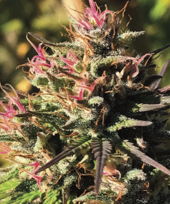 Feminized Seed – Cascade Hemp Collective