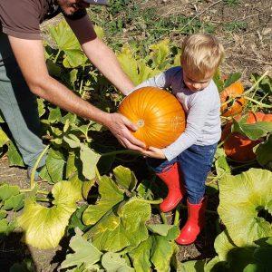 Cute kid harvesting pumpkin